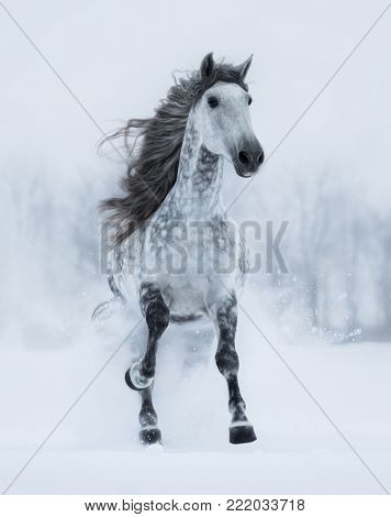Runnig dapple-grey long-maned Andalusian stallion in winter. Vertical outdoors image. Front view.