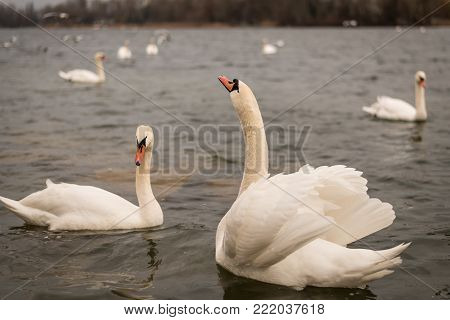 A couple of white swans (Cygnus olor) on the danube in Vienna