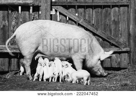 Pigs on the farm. Little piglets with mother. Black and white art monochrome photography. Black and white creative photography. Black and white conceptual image. Beautiful black and white background.