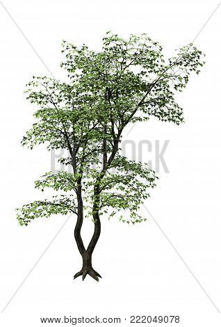 3D rendering of a green Japanese maple tree isolated on white background