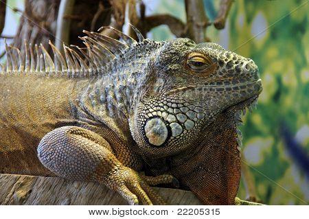 Iguana Macro