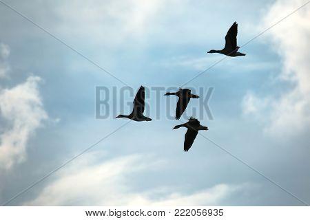 Flock of geese flying in cloudy sky