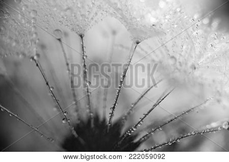 Beautiful Dew Drops On A Dandelion Seed Macro. Beautiful Soft Blue Background. Water Drops On A Para