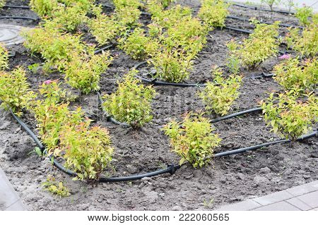 Clouse up on automated drip irrigation system spaying water with water hose. Irrigation system
