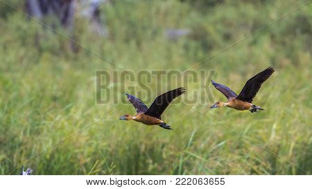 Fulvous whistling-duck in Kruger national park, South Africa ; Specie Dendrocygna viduata family of Anatidae
