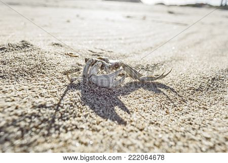 Dead Crab with big claws over sand at the beach on a sunny day. La Paloma, Uruguay