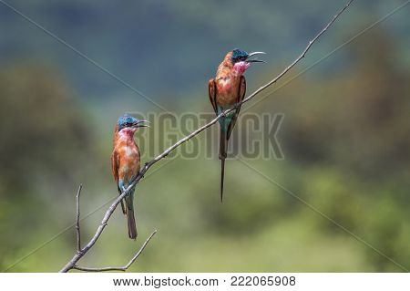 Southern carmine bee-eater in Kruger national park, South Africa ; Specie Merops nubicoides family of Meropidae
