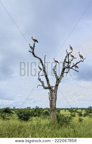 White stork isolated in Kruger national park, South Africa ; Specie Ciconia ciconia family of Ciconiidae