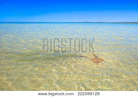 A white spotted Guitarfish or Rhynchobatus Australia at Shell Beach in Shark Bay World Heritage Area. Shell Beach is famous for shells and clear waters. Western Australia near Denham.