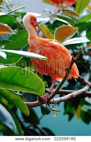 Scarlet ibis bird perched on a tree branch.