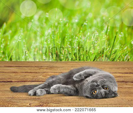 Animal themes british cat british shorthair white blue background small