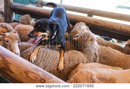 A sheepdog with tongue hanging out rests on the back of the sheep he just coralled in wooden pen