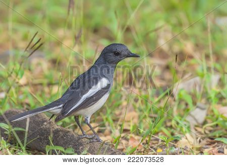 Bird (Oriental magpie-robin or Copsychus saularis) female black and white color perched on a tree in a nature wild