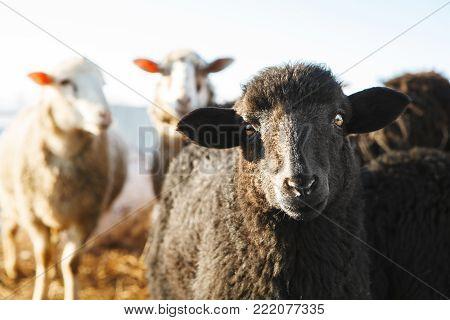 horizontal shot of black sheep looking at the camera. a flock of sheep in the paddock.