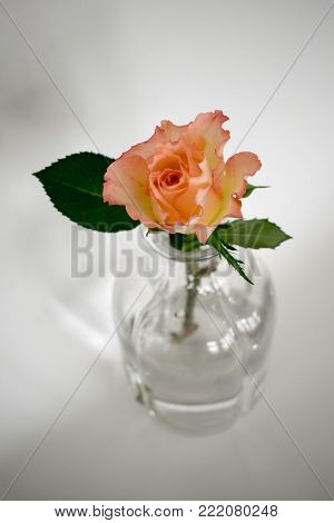 One solitary pink rose and one large leaf arranged in a  glass vase on a white background.