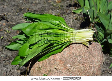 Allium ursinum - known as ramsons, buckrams, wild garlic, broad-leaved garlic, wood garlic, bear leek, or bear's garlic.