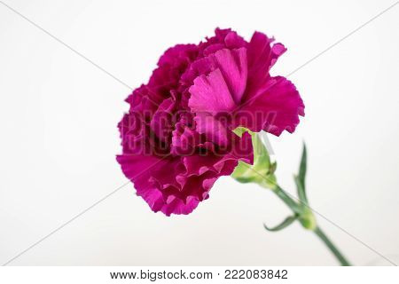 One tall purple carnation set against a white background.