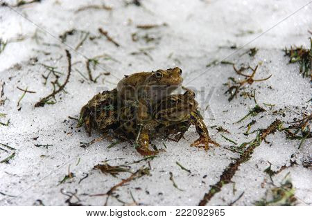 Copulating frogs (Rana temporaria) in Amplexus. Poland.