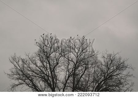 The ravens on the crown of the tree during the winter.