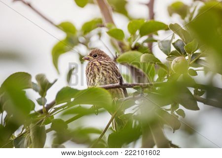 chick of a thrush on an apple branch