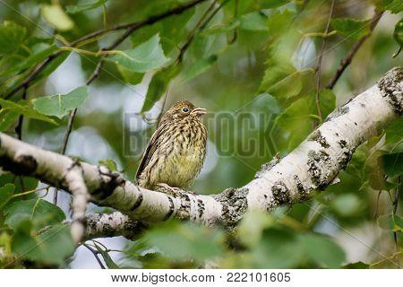 chick of a thrush on a birch branch