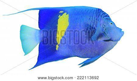 Angelfish fish isolated on white. Arabian (Yellowbar) Angelfish