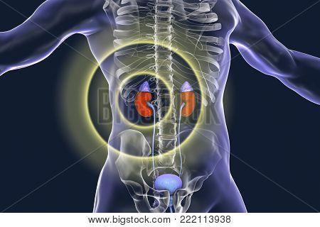 Kidney pathology treatment and prevention concept, 3D illustration