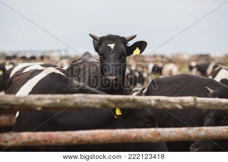 Cows on the farm with tags on their ears. Farming on nature. To love farming. Farming concept