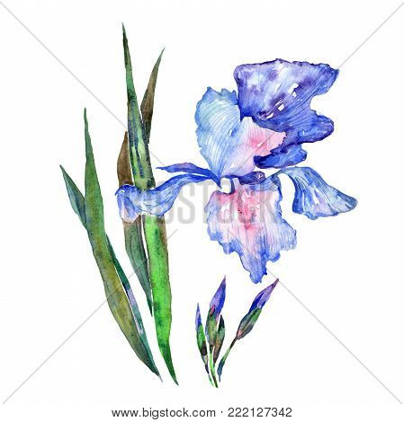 Wildflower iris  flower in a watercolor style isolated. Full name of the plant: iris . Aquarelle wild flower for background, texture, wrapper pattern, frame or border.