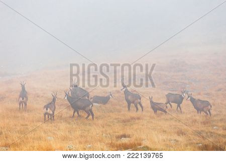 a herd of chamois passes a mountain pass in the fog
