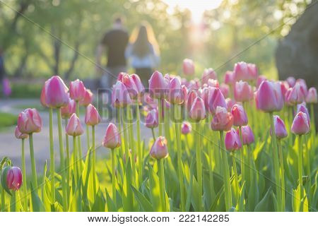 Walking happy young couple in park with blooming pink tulips on foreground, sunny day. Blurred abstract image for spring, summer creative background, pantone fashion colors