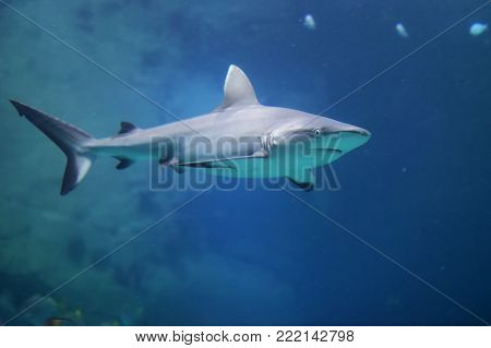 Danger Grey Reef Shark in the ocean. Blue ocean water and rock at background.