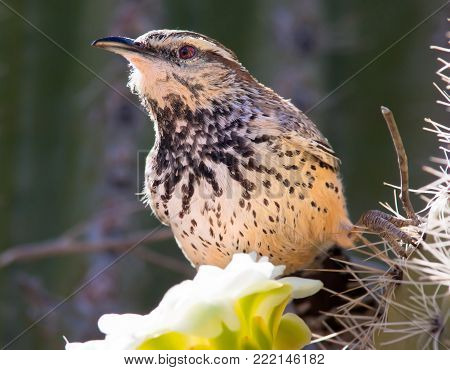 A Cactus Wren native to Arizona feeding on the sweet nectar of a Saguaro Cactus.