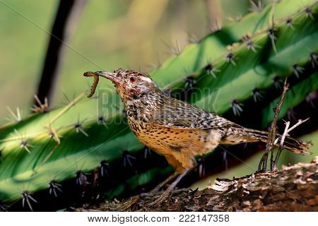 A Cactus Wren native to Arizona with a freshly caught worm, hence the saying, the early bird gets the worm.