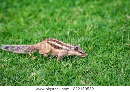 Close-up of Northern palm squirrel or Funambulus pennantii also known as five-striped palm squirrel