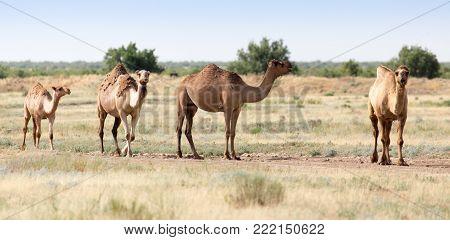 Caravan of camels in the desert . In the park in nature