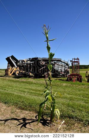 A lone surviving stalk of corn on a road with an old threshing machine in the background