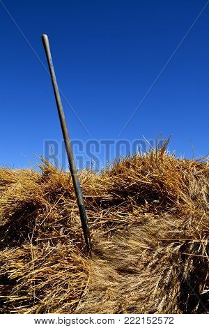 A three tined wood handled pitch fork is stuck into a wheat bundle ready for threshing.