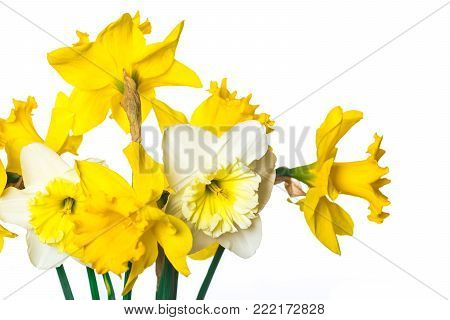 Narcissus Flowers On White Background