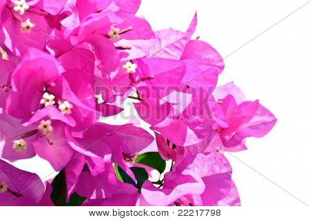 Isolated Bougainvillea Flowers