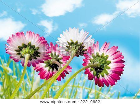 daisy and blue sky