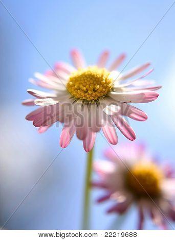 daisy with blue sky