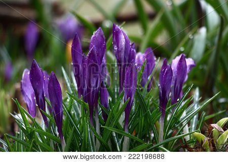 Among reviving plants of a flower bed the group of violet crocuses is ready to reveal.