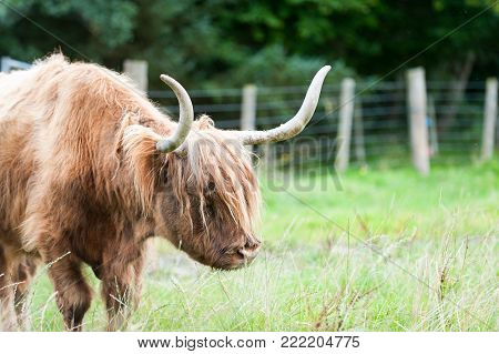 Wet beautiful highland scottish hairy red cow with big horns gazing on pasture. Glasgow, Uk, Scotland. Colored outdoor summertime horizontal image.