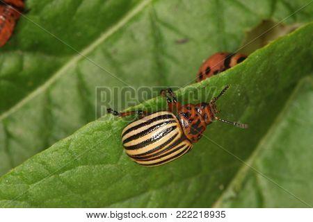 One Colorado Beetle