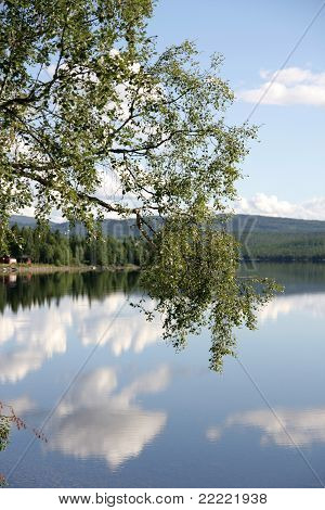 Birch by a lake in Norway