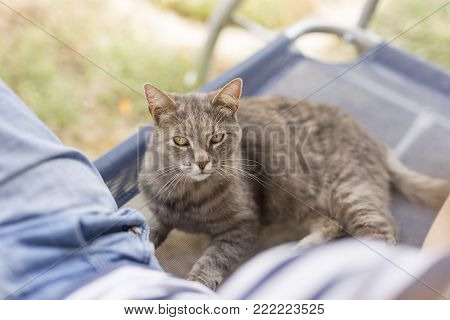 Furry tabby cat climbing on its owner's lap, playful and cuddly. poster
