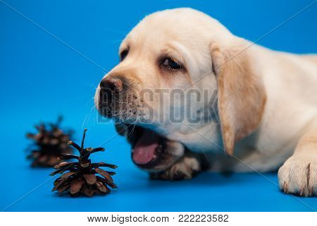 cute puppy white Labrador Retriever yawning on a blue background in Studio