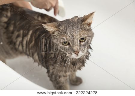 Girl washes her pet cat in a bathtub; beautiful tabby cat taking a shower