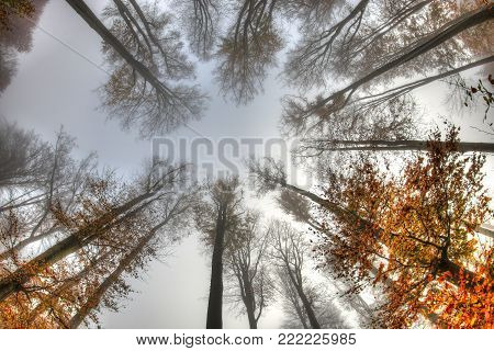 Misty haze in a beech forest in autumn - bottom view